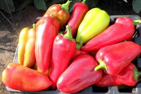Семена перца болгарского подарок молдовы 21