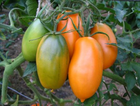 Томат Банан оранжевый: характеристика и описание сорта