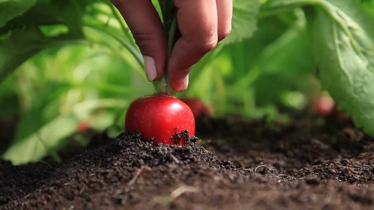 Семена редиса : как вырастить в домашних условиях, как получить