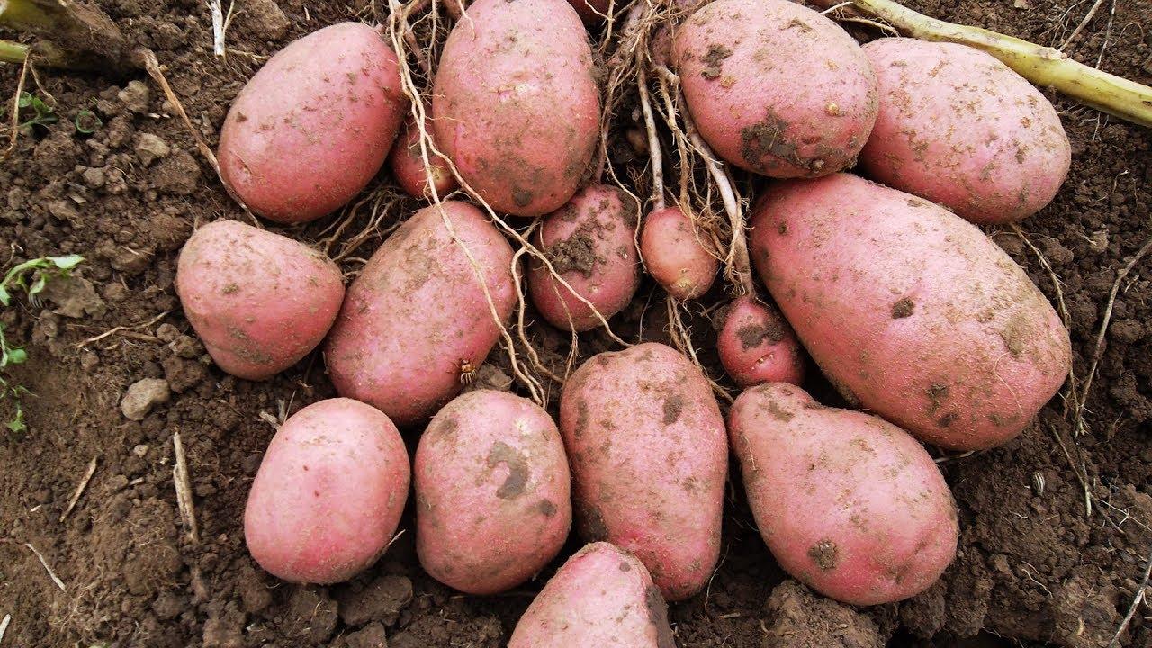 Что такое выращивание элитного картофеля