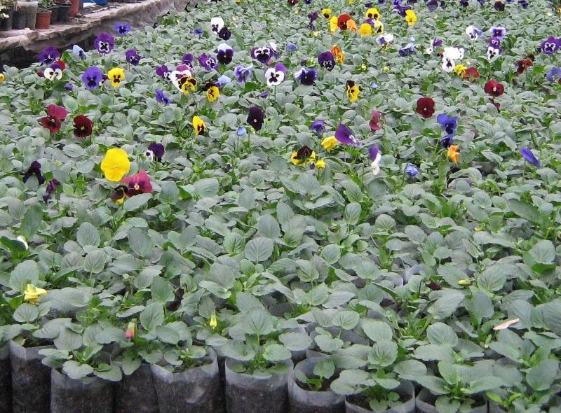 Виола рассада выращивание 75