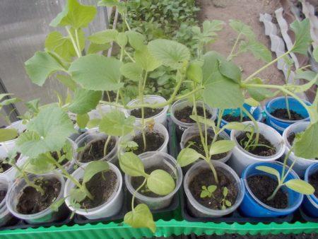 Когда сажают семена арбуза на рассаду