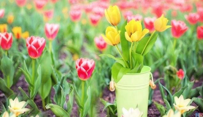 Посадка луковиц тюльпанов когда выкапывать и когда садить 91