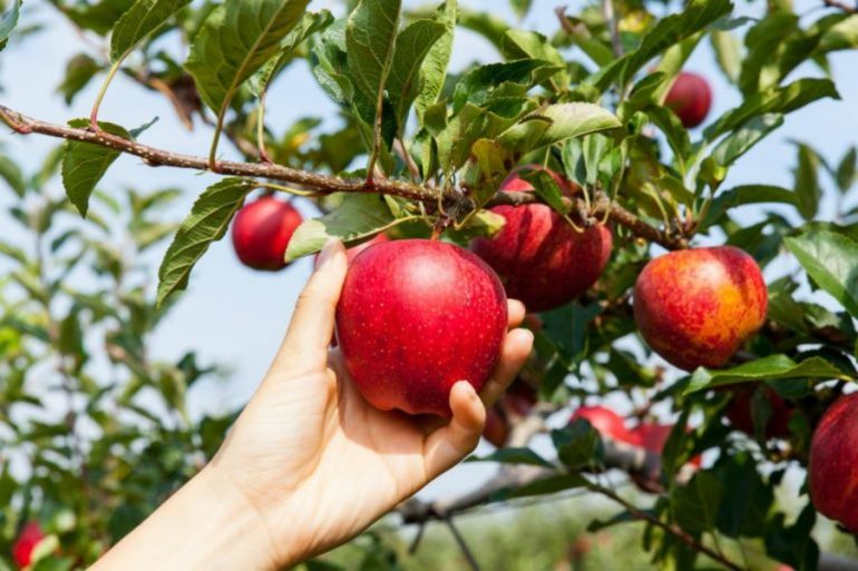 Плодоносящие яблони