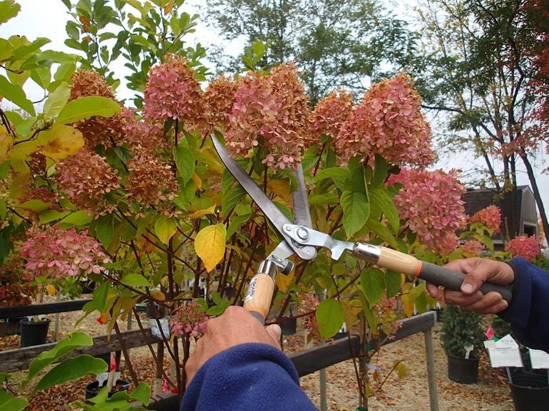 Обрезка гортензии метельчатой осенью