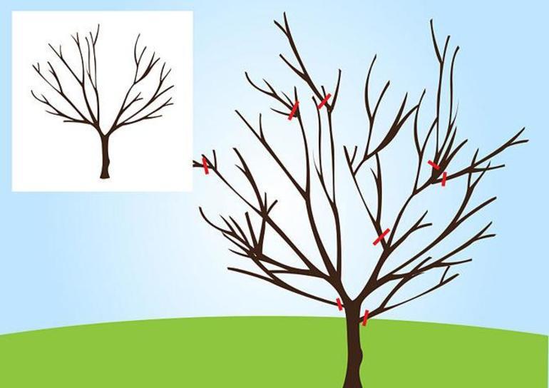 Схема обрезка груши осенью для начинающих
