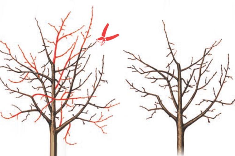 Когда обрезать грушу осенью или весной