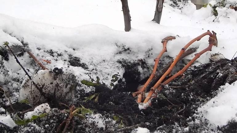 Способы эффективного укрытия винограда на зиму в Сибири