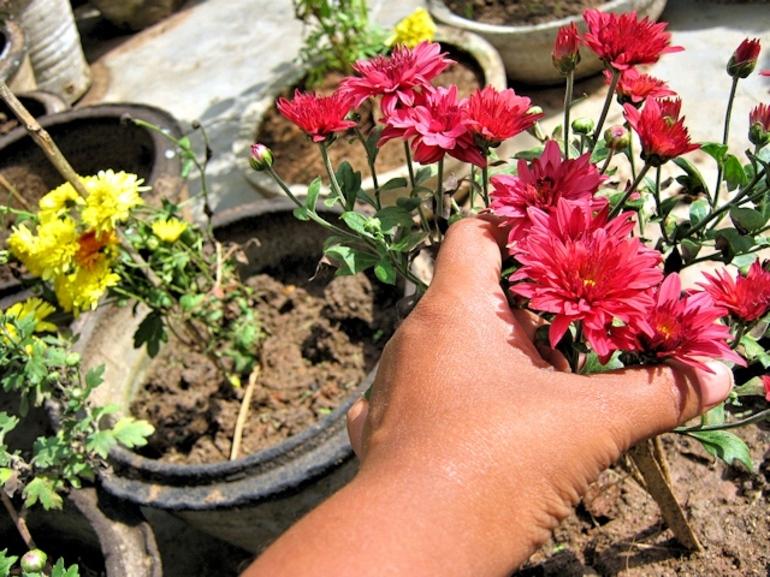 Как сохранить хризантемы в домашних условиях