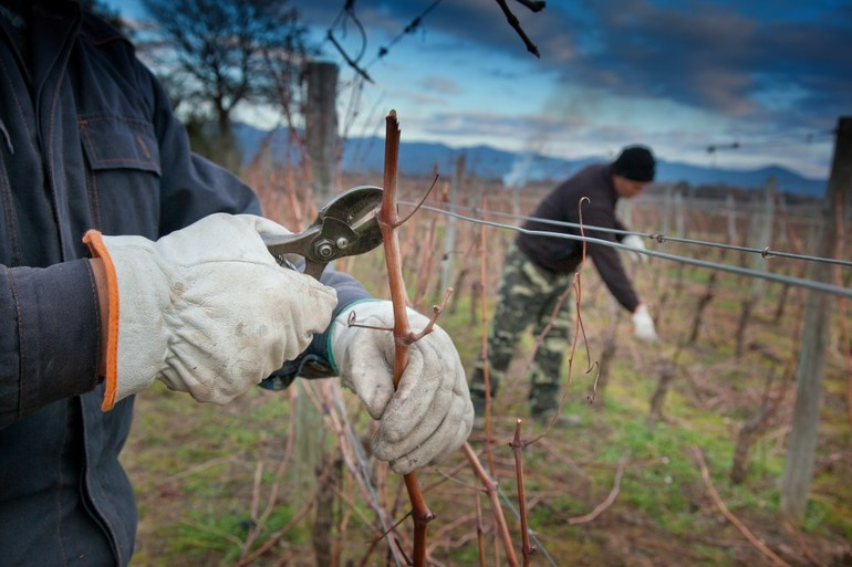 Способы обработки винограда осенью