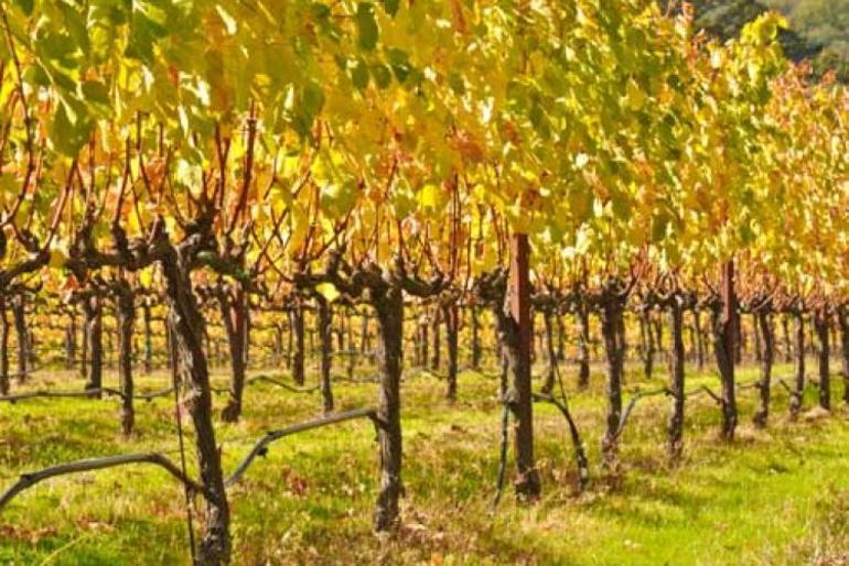 Обрезка виноградника