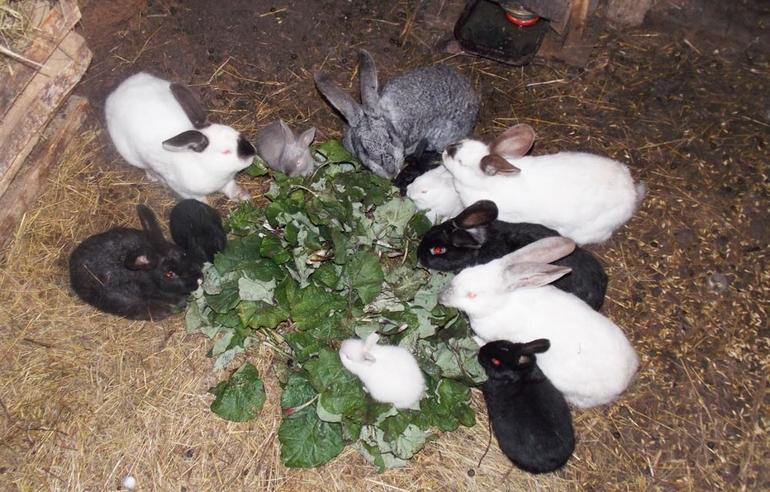Тонкости кормления кролей