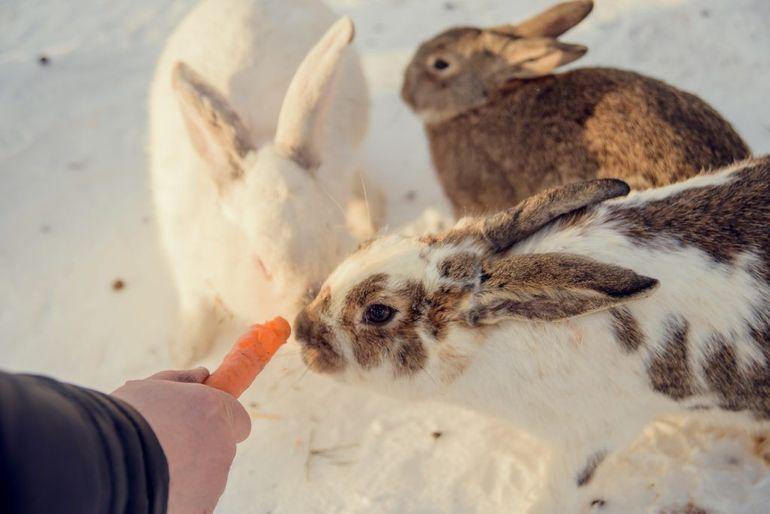 Кормление корнеплодами кроликов