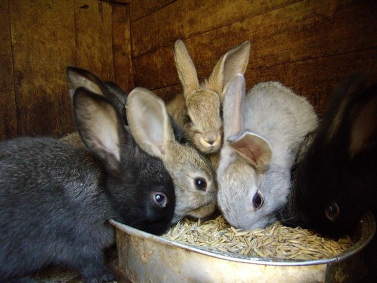 Зимнее кормление кроликов