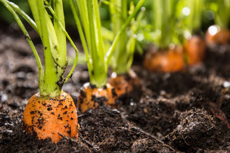 Тонкости выращивания моркови