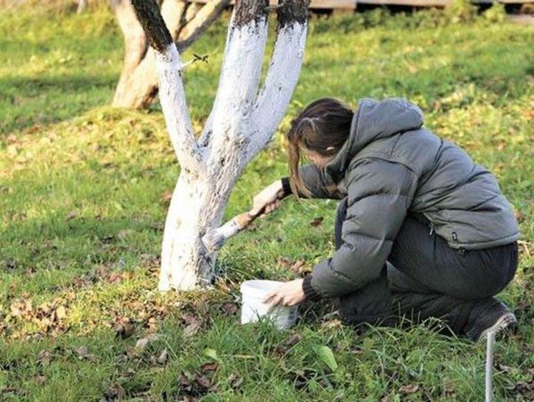 Как белить яблоню осенью