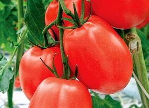 Какие помидоры выращивать в Подмосковье