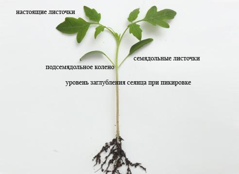 Составляющие ростка помидора