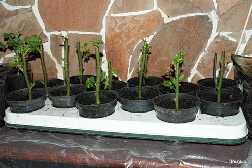 Выращивание розы из букета