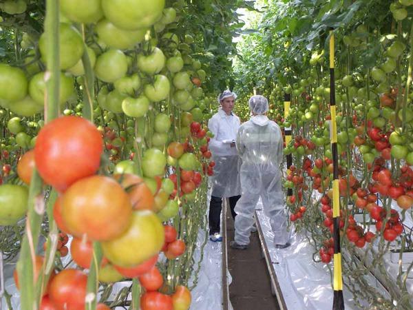 Кк вырастить помидоры в теплице