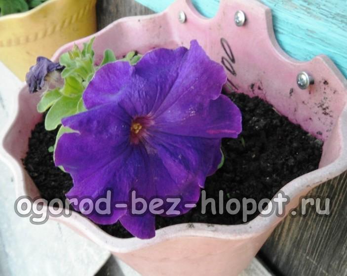 крупноцветковые (грандифлора)
