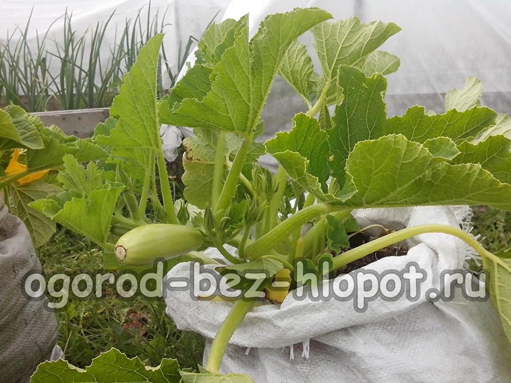 Выращиваем кабачки в мешке