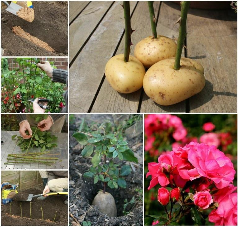 как вырастить розу из букета в картошке