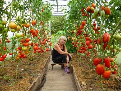 Теплица из поликарбоната: как вырастить помидоры