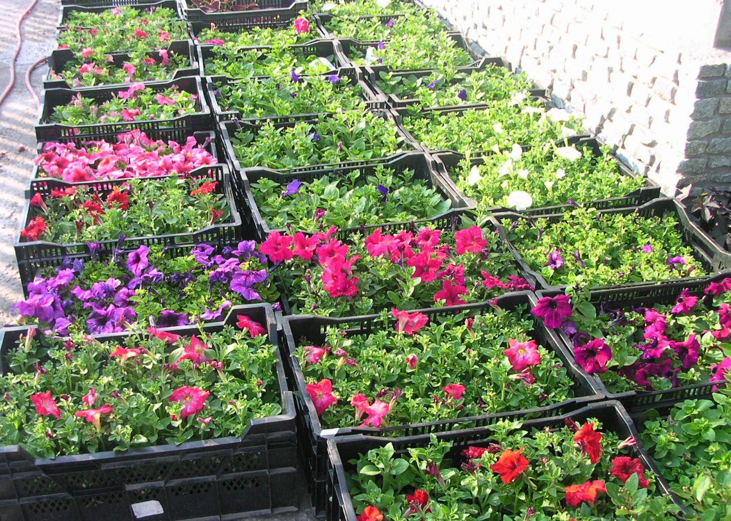 Выращивание рассады петунии дома
