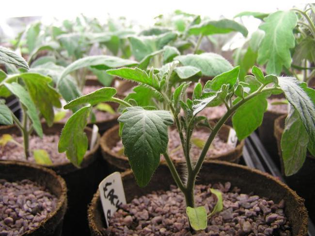 Когда сеять томаты на рассаду