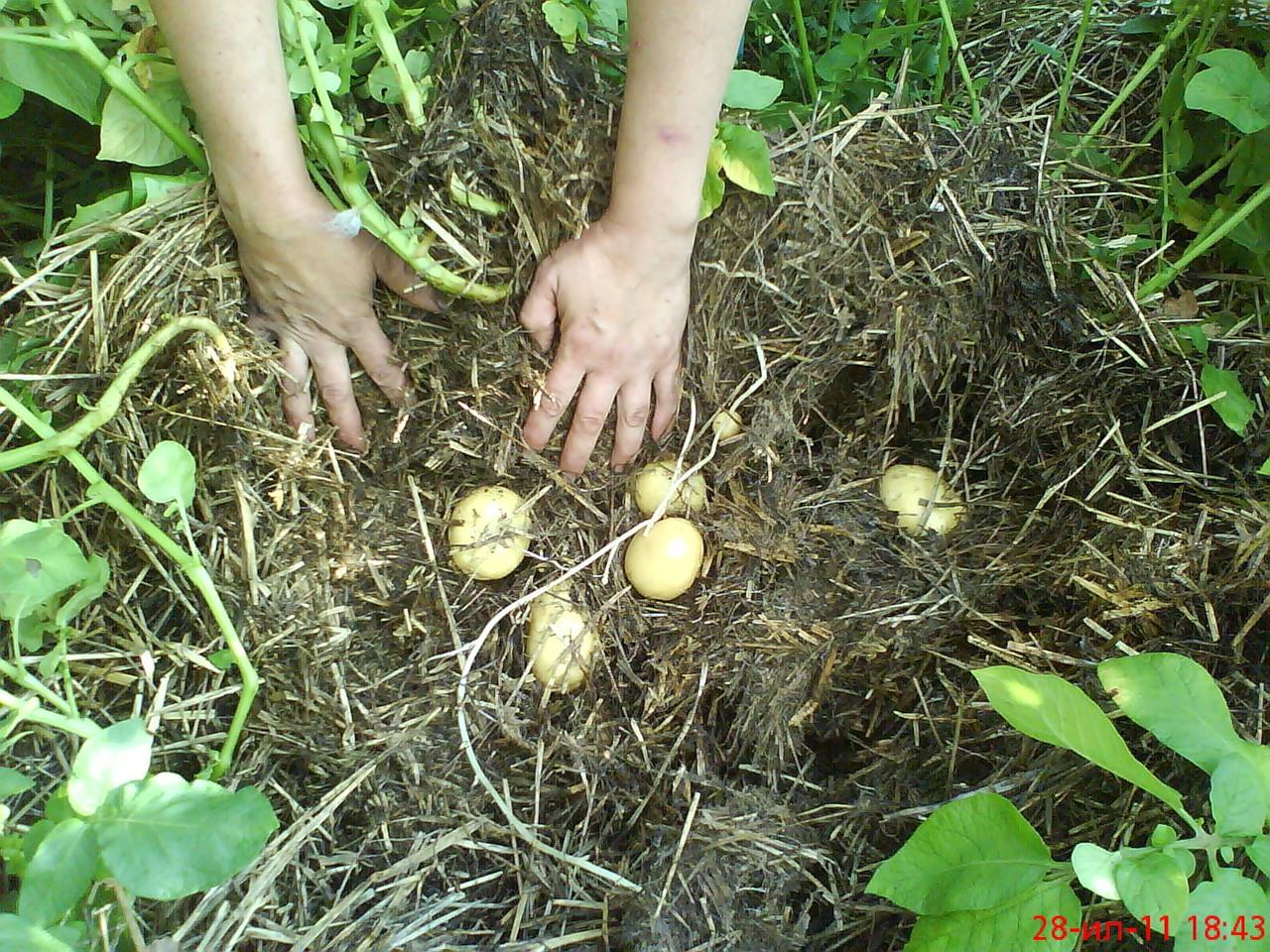 Выращивание картошки без прополки