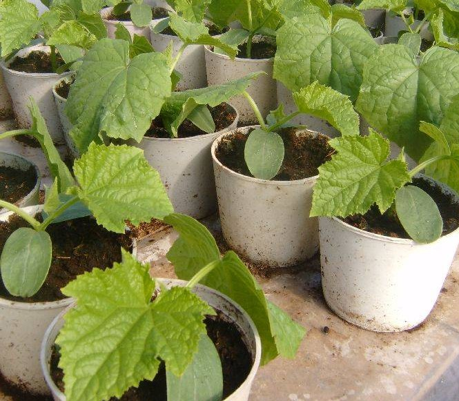 Выращивание рассады огурцов