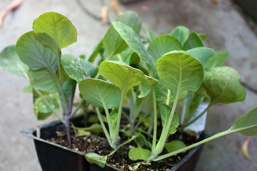 Когда сажать рассаду капусты