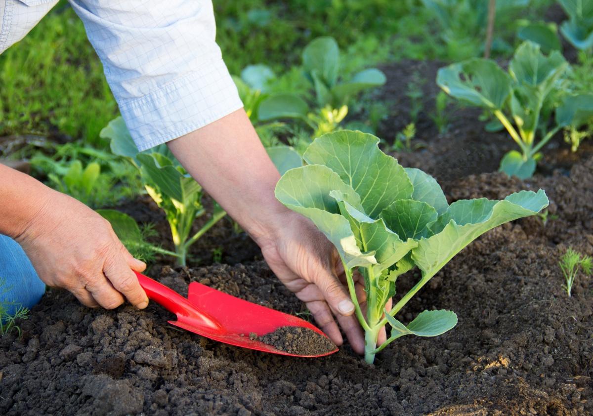 Высадка капусты на рассаду