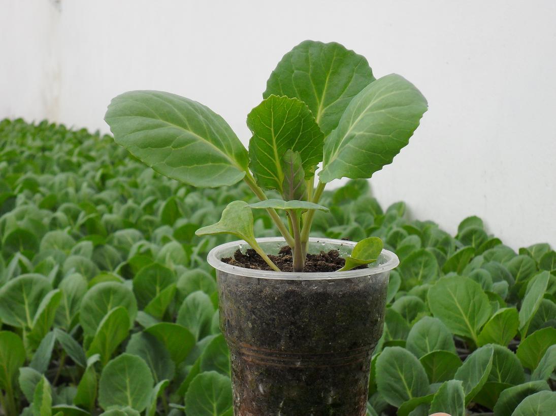 Дата высадки рассады капусты