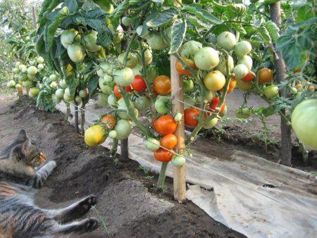 выращивание помидоров по методу маслова