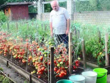 как растить помидоры по маслову