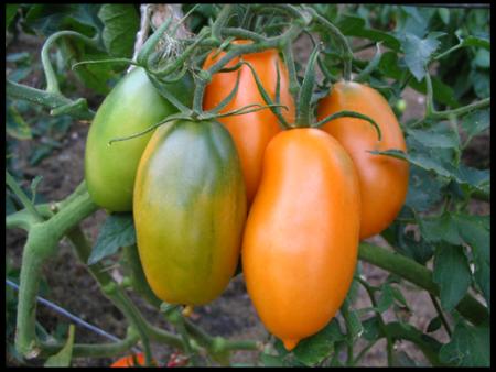 низкорослые помидоры для открытого грунта