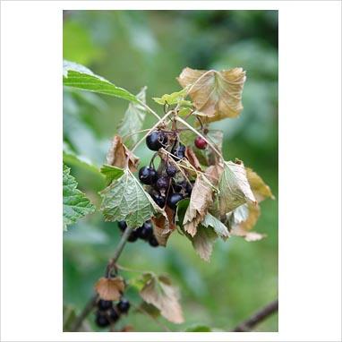 094061 0499 Gooseberry grey mould dieback(Botritis cinerea) on b