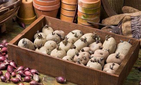 ярование картошки