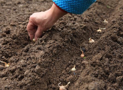 Когда высаживать лук севок