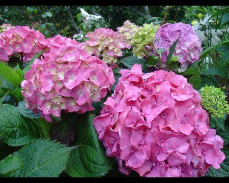 Гортензия садовая красивая