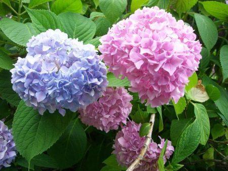 Гортензия садовая посадка