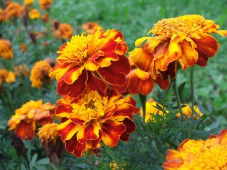выращивание бархатцев из семян