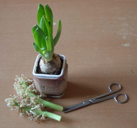 луковица гиацинта после цветения
