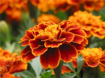 цветы бархатцы на даче