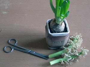 что делать с луковией гиацинта