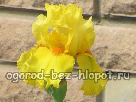 Почему не цветут ирисы на садовом участке