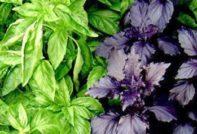 Базилик: выращивание из семян в открытом грунте