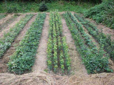 копать или мульчировать огород